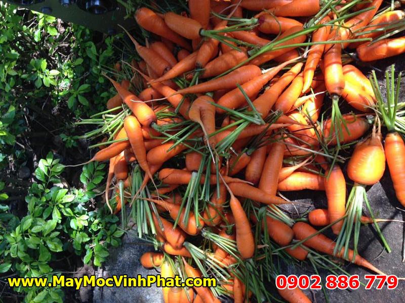 Hiệu quả thực tế củ máy rửa cà rốt, củ cải không gãy cuống của Vĩnh Phát